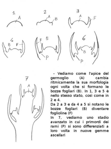 gemme-1 - disegno