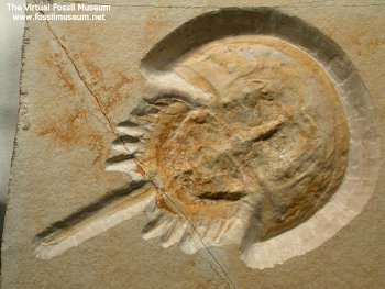 Immagine di www.fossilmuseum.net - clicca per visitare questo sito molto ricco