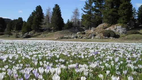 Passo Sella, fioritura di crochi