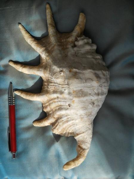 Gasteropode attuale con espansioni alari  - esterno -