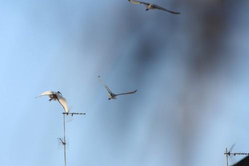 Gli Ibis in volo