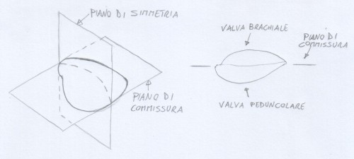 piano-di-simmetria-e-commissura-brachiopodi