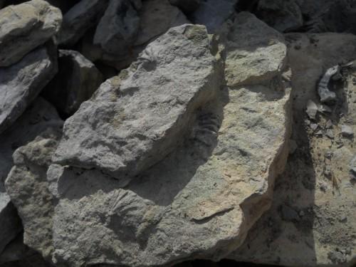 Brachiopodi Giurassici del Monte Generoso
