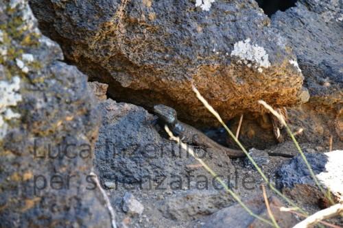 Mimetismo spiccato con le rocce vulcaniche del Teide