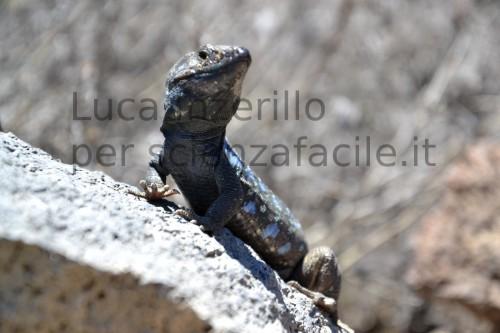 Lucertole endemiche di Tenerife - artigli ben visibili