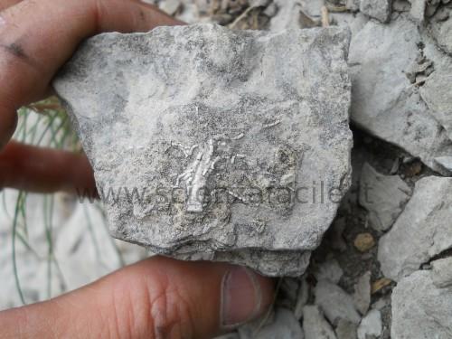 crinoide-completo-monte-generoso-calcare-moltrasio