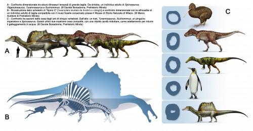 Spinosaurus. Confronto dimensionale e sezione degli ossi lunghi