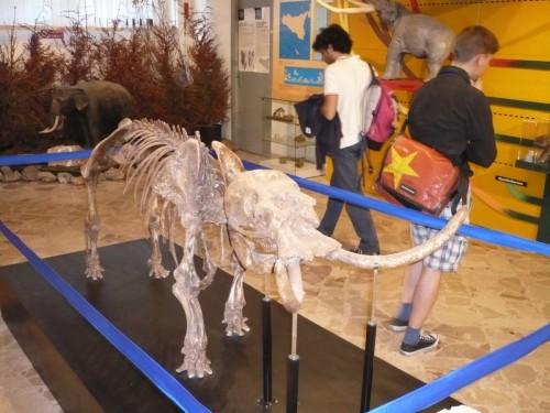 Scheletro di Palaeoloxodon falconeri, museo Gemmellaro di Palermo