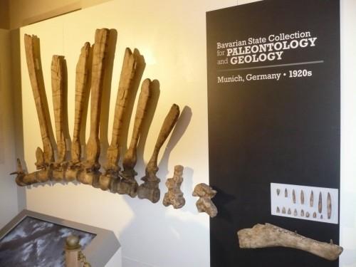 Riproduzione delle ossa dell'olotipo scoperto e studiato da Stromer