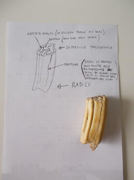 Il dente di Equide disegnato